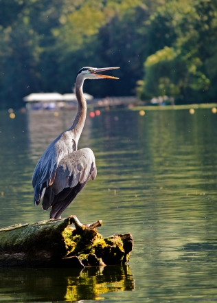 heron talking crop